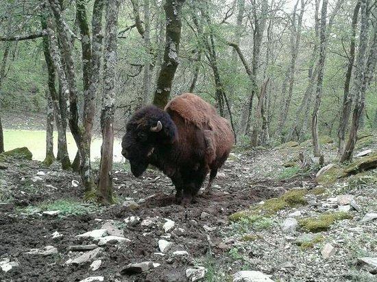 Il Parco  di Cavriglia: Il Bufalo