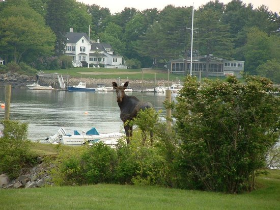 Dockside Guest Quarters and Restaurant : A moose checks out the Dockside !