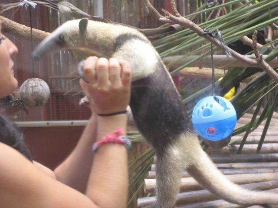 Foundation Jaguar Rescue Center : Oso hormiguero con Nerea