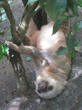 Foundation Jaguar Rescue Center : Perezoso