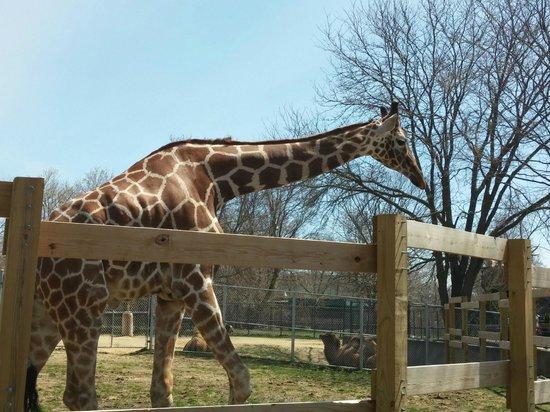 Henry Vilas Zoo: Mama Giraffe