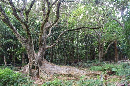 Kenting National Park : Kenting National Forest Recreation Area 墾丁國家森林遊樂區 (heritiera littoralis Dryand)