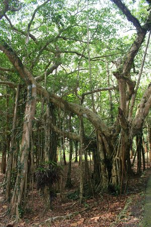 Kenting National Park : Kenting National Forest Recreation Area 墾丁國家森林遊樂區 (Ficus benghalensis)