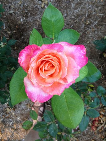 Dr. Dodson House Bed & Breakfast : A favorite rose in the garden