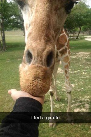 Fossil Rim Wildlife Center : Feeding one of the giraffes.