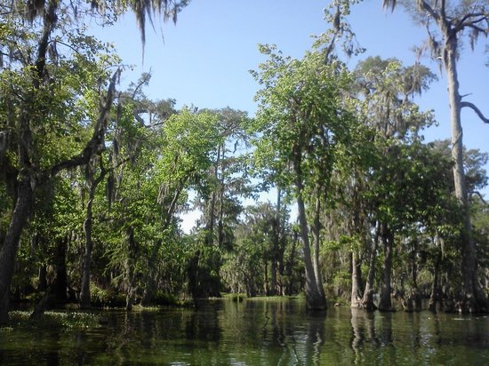 Champagne's Cajun Swamp Tours : Tree