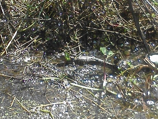 Champagne's Cajun Swamp Tours : Baby Alligator