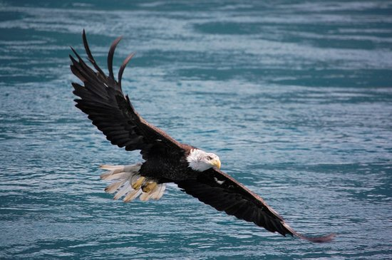 Sonora Resort : Bald Eagle