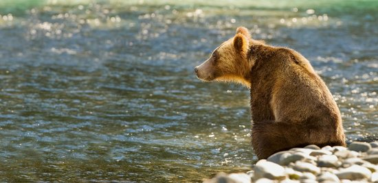 Sonora Resort: Grizzly Bear on the River
