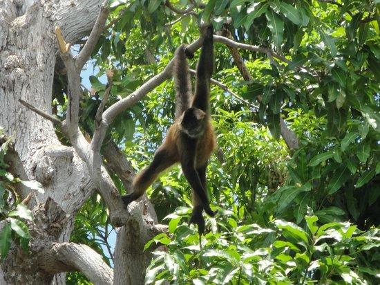 Las Isletas: monkey on mono island