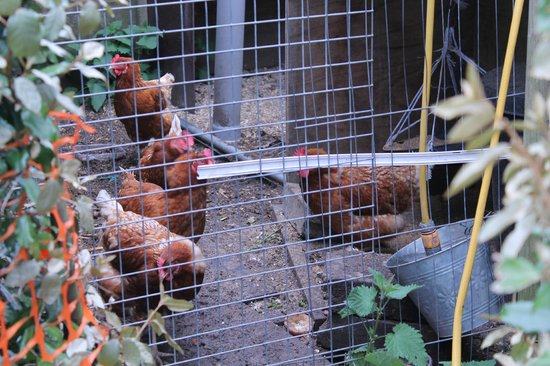 Ashbourne House B&B: Where the fresh eggs come from