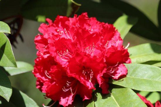 Villa Carlotta: rododendro
