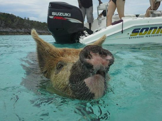 Sandals Emerald Bay Golf, Tennis and Spa Resort : From the Thunderball 007 Tour: Pig Beach!