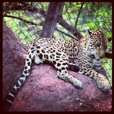 Nehru Zoological Park: Jaguar