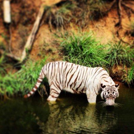 Nehru Zoological Park: Withe tiger