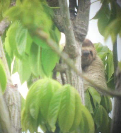 Lapa Rios Ecolodge Osa Peninsula: Sloth In Tree Outside Bungalow #4
