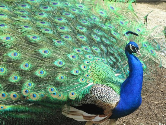 Cape May County Park & Zoo : Peacocks Roaming Free