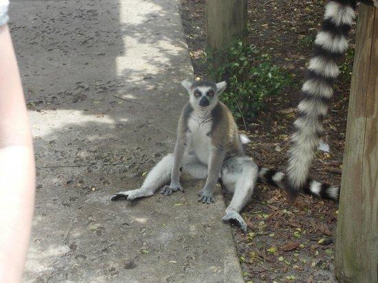 Safari Wilderness : relaxing lemur