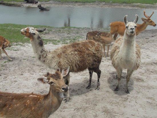 Safari Wilderness: Llama Llama