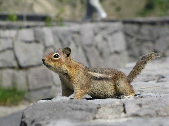 Mount St. Helens Visitor Center: Você irá encontrar vários esquilos