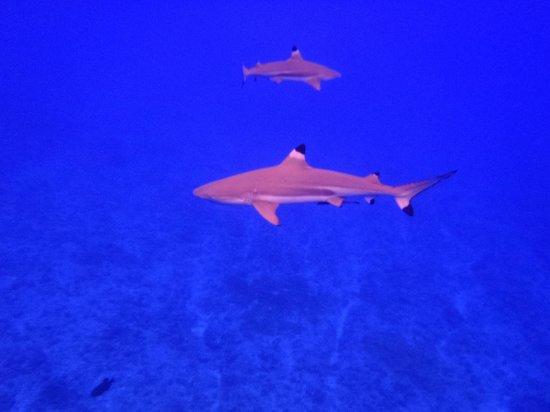 Moana Adventure Tours: Requins à pointes noires