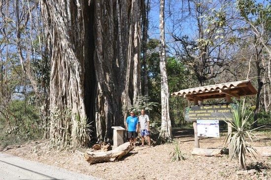 Hotel Amor de Mar: Giant Banyan Tree- Cabuya