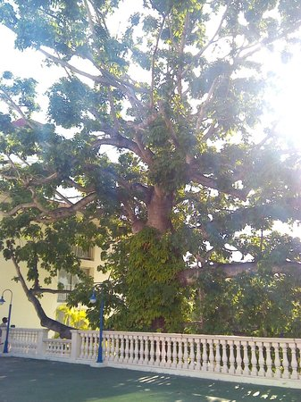 Breezes Resort & Spa Bahamas : awesome tree near basketball court