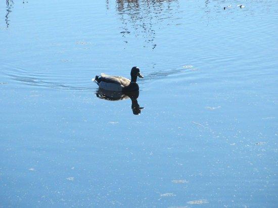 Lois Hole Centennial Provincial Park : Duck