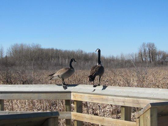 Lois Hole Centennial Provincial Park : Geese