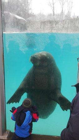 Aquarium du Quebec : Walrus