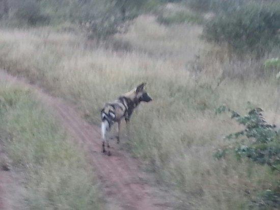 Kambaku Safari Lodge: Wild dog