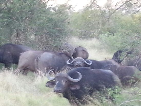 Kambaku Safari Lodge: Buffalo