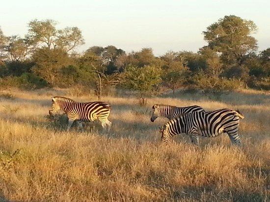 Kambaku Safari Lodge: Zebras