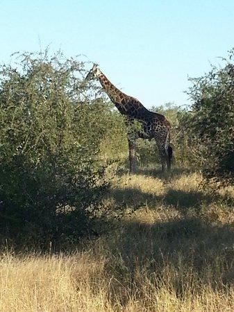 Kambaku Safari Lodge: Giraffe