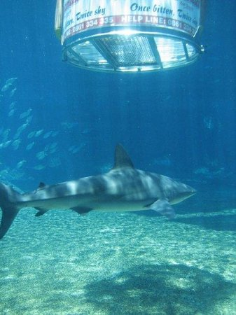 uShaka Sea World Aquarium: Shark cage diving