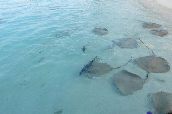 Jumeirah Vittaveli : Fish Feeding