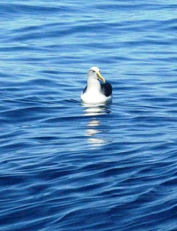 Albatross Encounter : Buller's Albatross