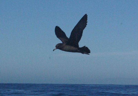 Albatross Encounter : flesh footed shearwater
