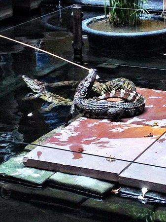 Victoria Angkor Resort & Spa: hungry crocs