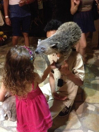 Bali Safari & Marine Park : Bearcat animal encounter