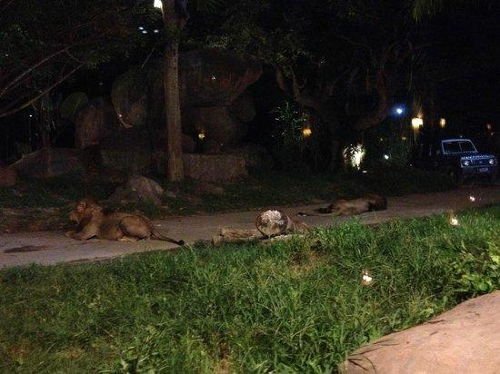 Bali Safari & Marine Park : Lions through restaurant window