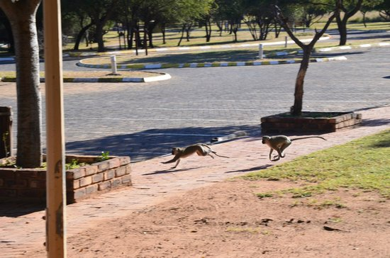 Golden Leopard Resort - Manyane: Monkeys running around