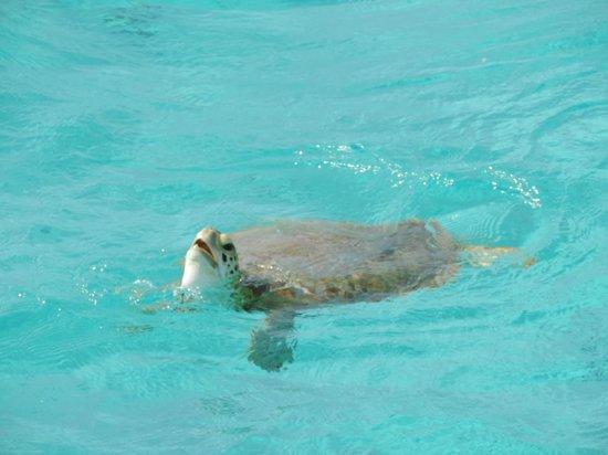 Tobago Cays Marine Park : Tortue