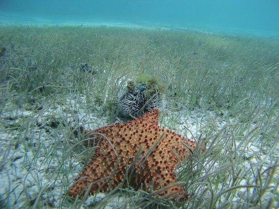 Tobago Cays Marine Park : etoile de mer