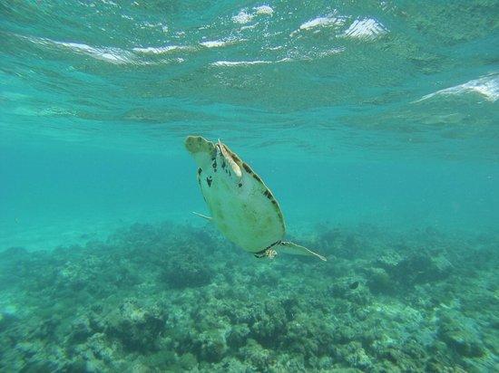 Tobago Cays Marine Park : Tortue plongeant
