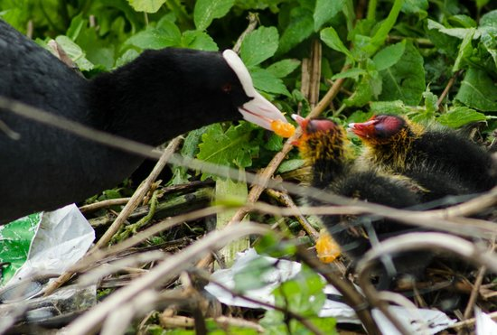 NH Amsterdam Museum Quarter: Mother coot feeds baby chicks by the canal outside the hotel