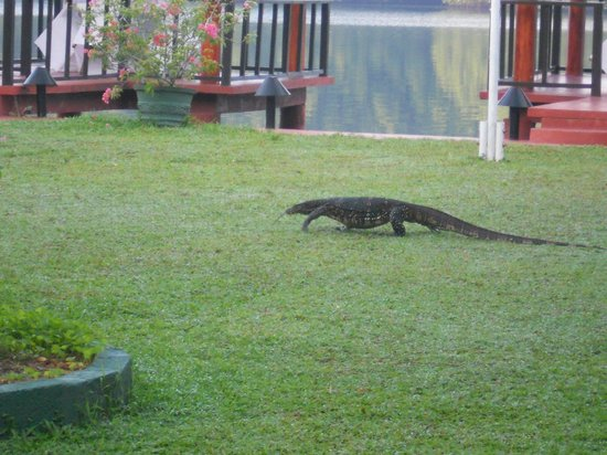Dalmanuta Gardens - Ayurvedic Resort & Restaurant : Water monitor walking around