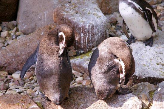 Weltvogelpark Walsrode: Pinguine
