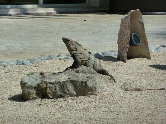 El Dorado Sensimar Riviera Maya: Resident Iguana