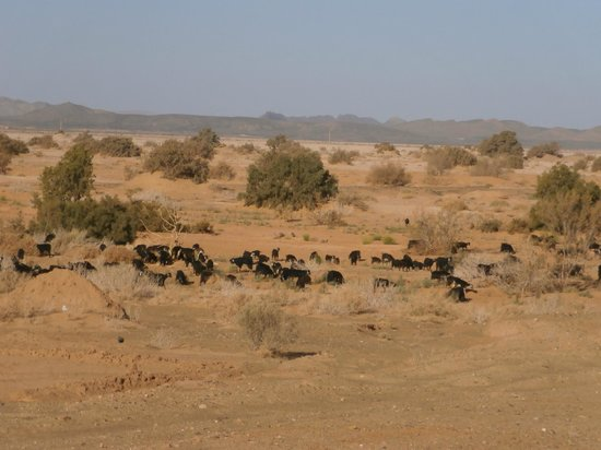 Moroccan Sahara : on the way to Taouz , a goat herd